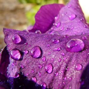 erik-zwaga-geurengoeroe-la-violette-en-pluie